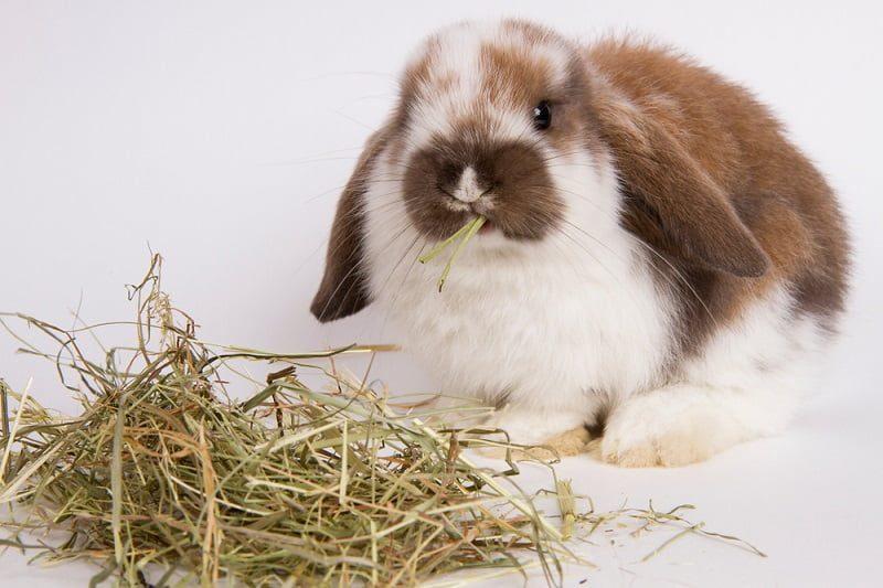 Cara Memberi Makan Kelinci dengan Jerami Hay