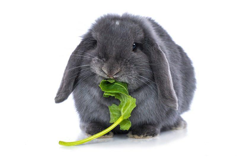 Cara Memberi Makan Kelinci dengan Sayuran