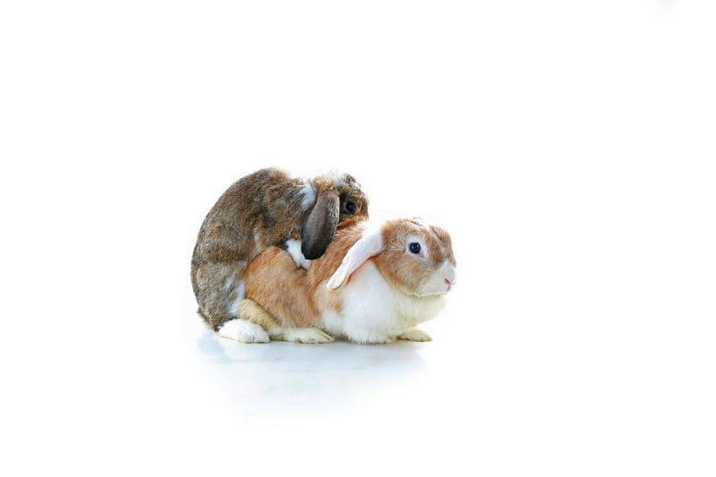 Cara Merawat Kelinci - Reproduksi