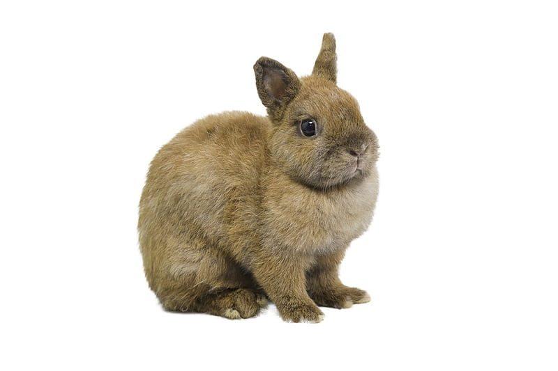 Ciri-ciri Kelinci Netherland Dwarf