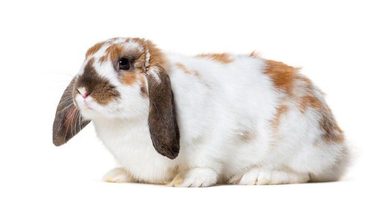 Jenis Kelinci Hias English Lop