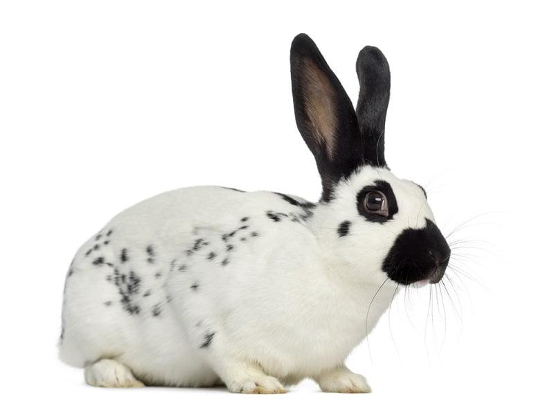 Jenis Kelinci Hias English Spot