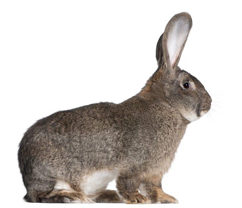 Jenis Kelinci Hias Flemish Giant