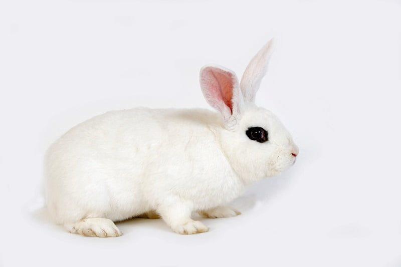 Jenis Kelinci Hias Hotot