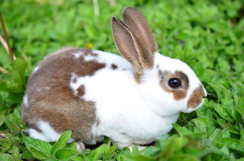 Jenis Kelinci Hias Mini Rex