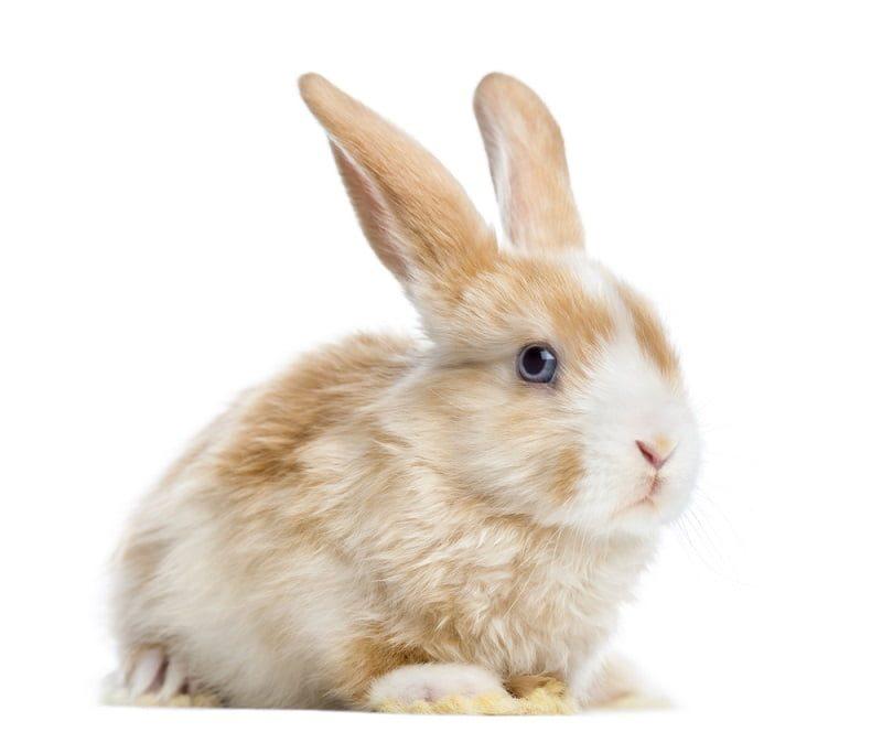Jenis Kelinci Hias Mini Satin