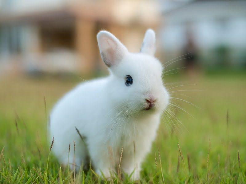 Jenis Kelinci Hias Netherland Dwarf