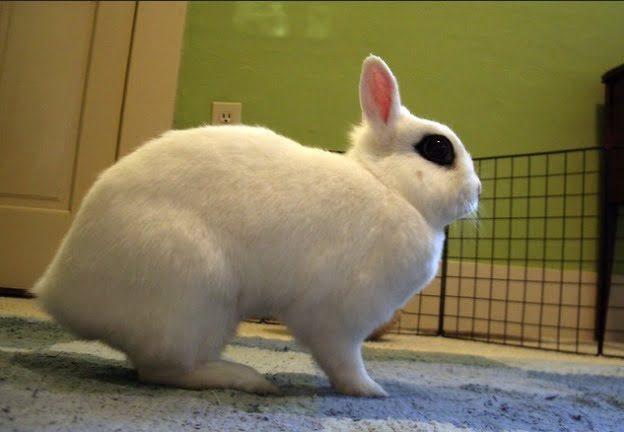 Jenis Kelinci Mini Dwarf Hotot
