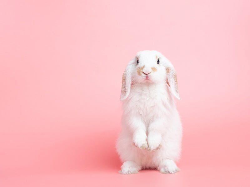 Jenis Kelinci Mini Holland Lop