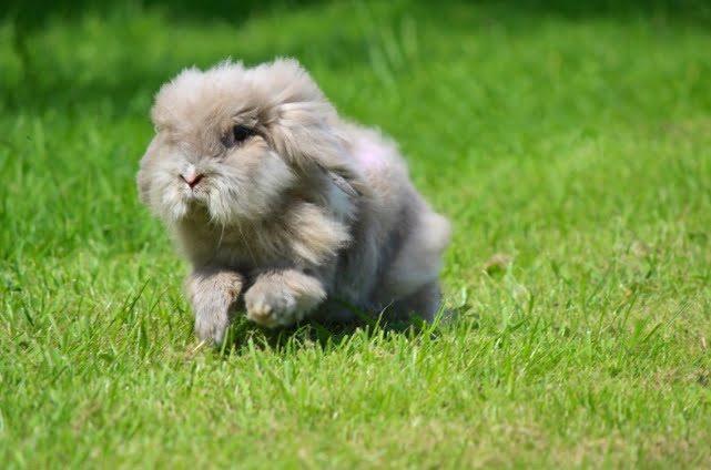 Jenis Kelinci Mini Miniature Lion Lop