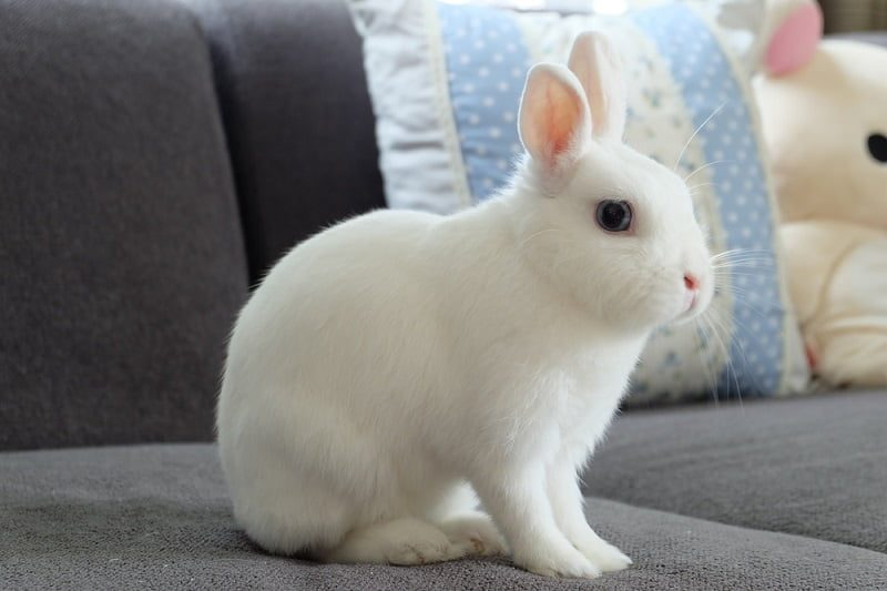 Jenis Kelinci Mini Netherland Dwarf