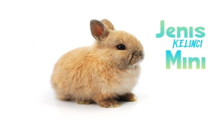 Jenis Kelinci Mini