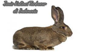 Jenis Kelinci Terbesar di Indonesia