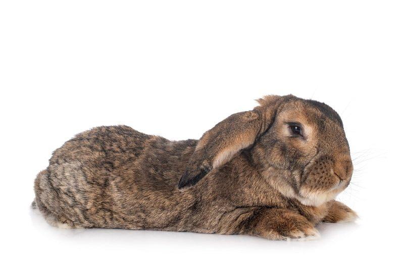 Jenis Kelinci Terbesar di Indonesia Flemish Giant