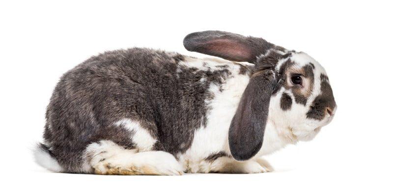 Jenis Kelinci Terbesar di Indonesia French Lop