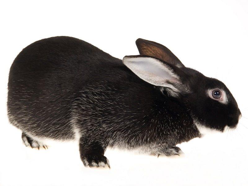 Jenis Kelinci Terbesar di Indonesia Silver Fox