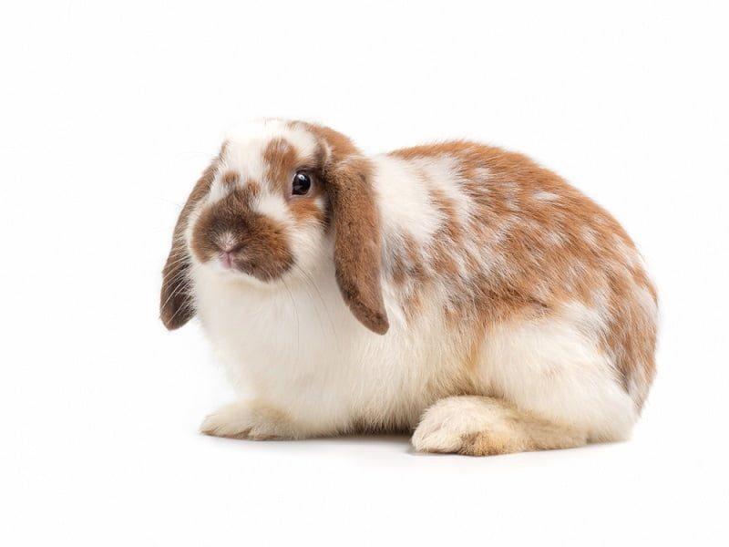 Jenis Kelinci Termahal Holland Lop