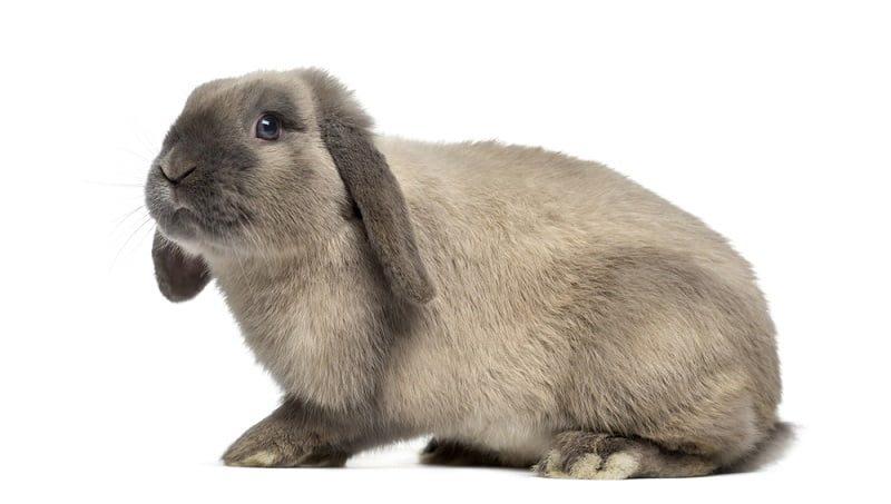 Ciri-ciri Kelinci Holland Lop