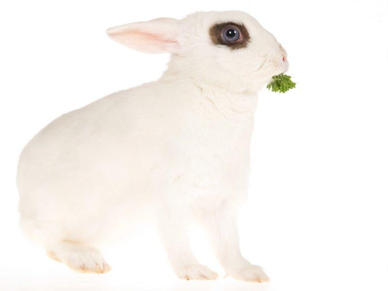 Jenis Kelinci Hotot