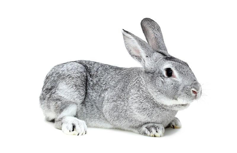 Jenis Kelinci Chinchilla