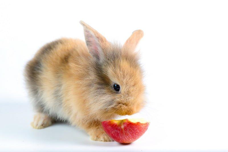 Makanan Kelinci Kecil Buah