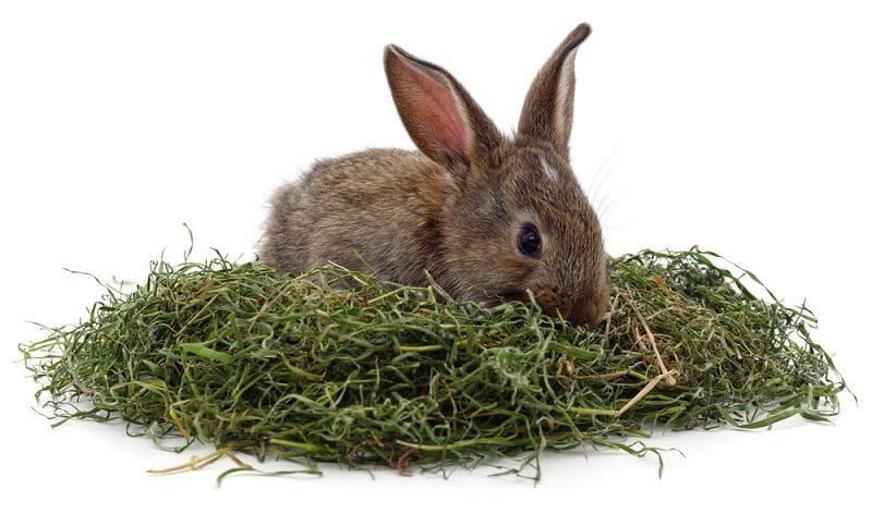 Makanan Kelinci Kecil Rumput Hay
